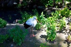 Cigüeña blanca Fotos de archivo