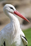 Cigüeña blanca Imagenes de archivo