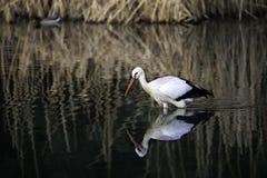 Cigüeña blanca Imagen de archivo libre de regalías