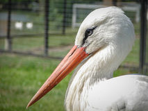 Cigüeña blanca Imagen de archivo