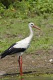 Cigüeña blanca (ciconia del ciconia) Imagen de archivo libre de regalías