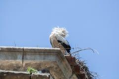 Cigüeña blanca, ciconia del Ciconia Imagen de archivo libre de regalías