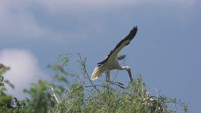 Cigüeña blanca, ciconia del ciconia, adulto en vuelo con el material de la jerarquización en el pico, Alsacia en Francia, almacen de video