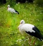 Cigüeña blanca en un prado Fotografía de archivo