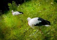 Cigüeña blanca en un prado Fotografía de archivo libre de regalías