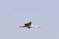 Cigüeña blanca europea Imagenes de archivo