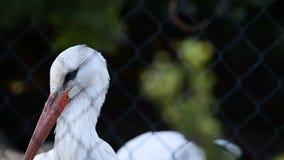 Cigüeña blanca o lat del ciconia del Ciconia metrajes