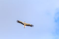 Cigüeña blanca que vuela en fondo tranquilo del cielo azul Fotos de archivo