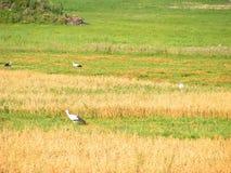 Cigüeña Blancas, majestuoso, muchas cigüeñas en un secadero colocan Imagenes de archivo