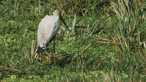 Cigüeña cargada en cuenta amarilla que alimenta en un pantano en reserva del juego de Mara del masai almacen de video