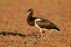 Cigüeña de Abdim Foto de archivo