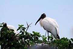 Cigüeña de madera blanca encima del árbol en la Florida Imagen de archivo