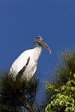 Cigüeña de madera encaramada en el árbol de la Florida Fotografía de archivo