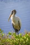 Cigüeña de madera que vadea en un pantano - la Florida Fotos de archivo libres de regalías