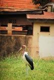 Cigüeña de marabú Imagen de archivo libre de regalías