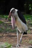 Cigüeña de marabú Imagen de archivo