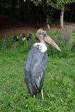 Cigüeña de marabú Fotos de archivo
