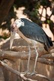 Cigüeña de marabú en el parque zoológico Imágenes de archivo libres de regalías
