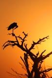 Cigüeña de marabú en la sombra (cuadro vertical) Foto de archivo