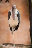 Cigüeña de marabú en una pierna Foto de archivo libre de regalías