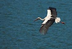 Cigüeña del vuelo en el agua azul Imagen de archivo libre de regalías
