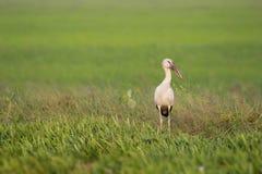 Cigüeña en campo de arroz verde Imagen de archivo