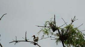 Cigüeña en el árbol almacen de metraje de vídeo