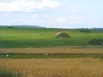 Cigüeña en el campo de Bielorrusia Pico, libertad Imágenes de archivo libres de regalías