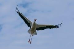 Cigüeña en el cielo Fotografía de archivo