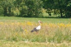 Cigüeña en el prado Foto de archivo libre de regalías
