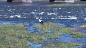 Cigüeña en el río metrajes
