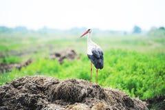 Cigüeña en un prado Fotos de archivo libres de regalías