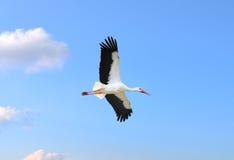 Cigüeña en vuelo Fotos de archivo libres de regalías