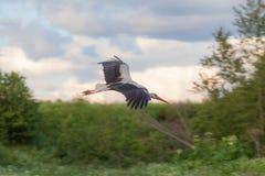 Cigüeña en vuelo Fotografía de archivo