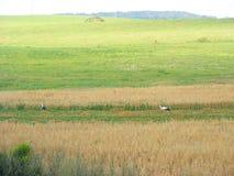 Cigüeña grande blanca que camina en hierba Fotos de archivo libres de regalías