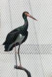 Cigüeña negra, nigra del Ciconia Imagenes de archivo