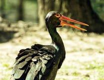 Cigüeña negra (nigra) del Ciconia, escena animal Foto de archivo libre de regalías