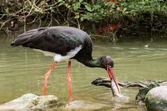 Cigüeña negra, nigra del Ciconia que coge y que come un pescado fotos de archivo libres de regalías