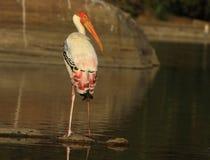 Cigüeña pintada Fotos de archivo libres de regalías