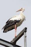 Cigüeña que descansa encima de la alta mirada en la distancia Foto de archivo