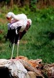 Cigüeña que se coloca en tocón de árbol Imagen de archivo