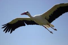 Cigüeña que vuela debajo del cielo azul, vuelo de la cigüeña en naturaleza ilustración del vector