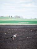 Cigüeña salvaje en el prado Imagen de archivo libre de regalías