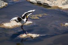 cigüeña Silla de montar-cargada en cuenta en el parque nacional de Kruger Imagen de archivo