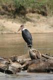 Cigüeña y buitre de marabú en wildebeest ahogado Fotos de archivo
