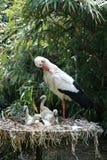 Cigüeña y pollos de la limpieza Fotografía de archivo