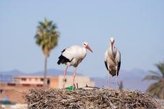 Cigüeñas blancas Foto de archivo
