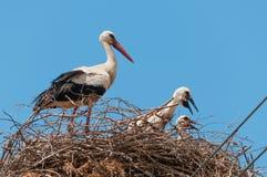 Cigüeñas blancas Fotos de archivo