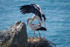 Cigüeñas blancas Fotos de archivo libres de regalías