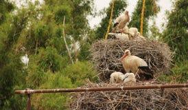 Cigüeñas blancas Imagenes de archivo
